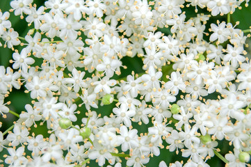 White blossom of elderflower (Sambucus nigra) shrub