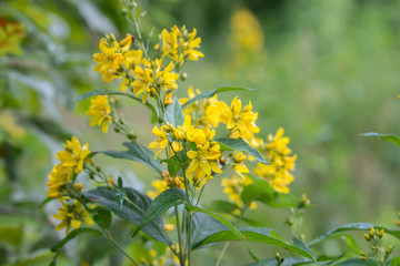 Lysimachia vulgaris, yellow loosestrife, garden loosestrife