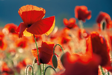 red poppies in the field in evening light. beautiful nature background with flowers. sunny weather. shallow depth of field