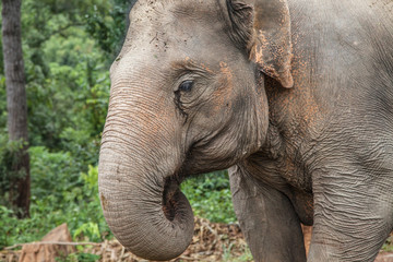 Portrait of a Young Asian Elephant
