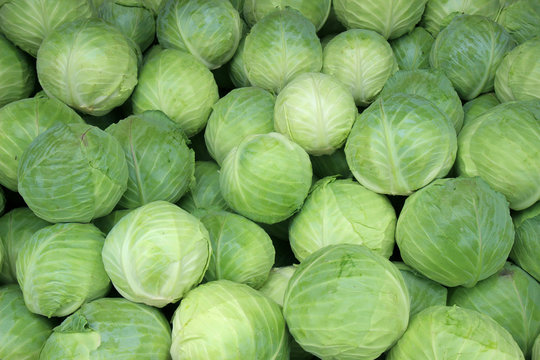 Fresh cabbage from farm field. Vegetarian food concept.