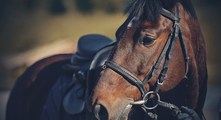 Portrait of a sporty saddled horse in a bridle. Equestrian sport.