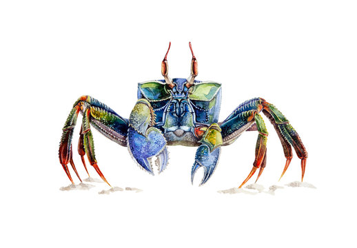 Watercolor illustration of a sea crab standing on the sand. Multi colored well drawn ocean crab underwater animal, isolated on white background