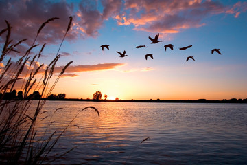 Geese flying over a beautiful sunset. Wall mural
