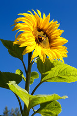 Sunflower with butterfly sitting in flower head center, blue sky
