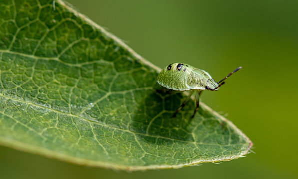Green garden bug (Lygocoris (syn. Lygus) pabulinus L.)
