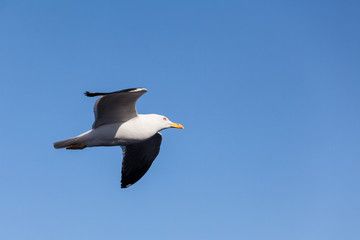 Flying black-backed seagull in blue sky, copy space