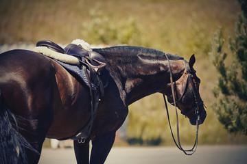 Saddled brown sports horse.