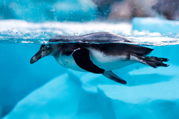 penguin swimming in pool in a zoo