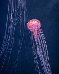 Fototapete - glowing jellyfish chrysaora pacifica underwater