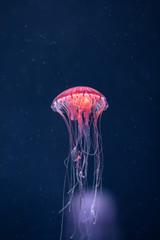 Wall Mural - glowing jellyfish chrysaora pacifica underwater