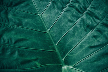 Wall Mural - Close-up foliage of tropical leaf in dark green texture,  abstract nature background.