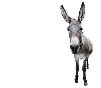 Donkey full length isolated on white. Funny gray donkey standing in front of camera. Farm animals.