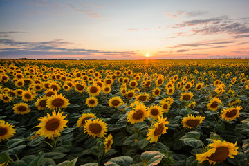 Field of blooming sunflowers at sunset Fototapete