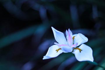 Wild Iris plant (Dietes grandiflora) with green textured background