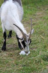Fototapeta Naturschutz am Eggeturm auf der Velmerstot duch Ziegen und Schafe obraz