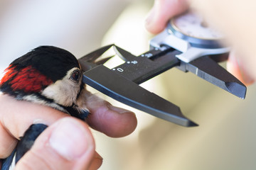 Scientist holding a great spotted woodpecker (Dendrocopos major) and measuring its beak in a bird banding/ringing session