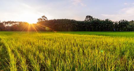 Rice field panoramic with sunrise or sunset and sunbeam flare Fototapete