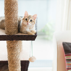 Young fluffy funny red kitten lying on cats tree at window background. Purebred Siberian cat. Cat looking at camera