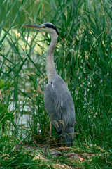 close up of a grey heron in it´s natural habitat