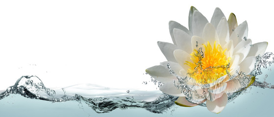 Fotorollo Lotosblume Blooming lotus flower in water