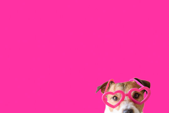 Love, romance and valentines day concept with dog wearing heart shaped pink glasses against color background