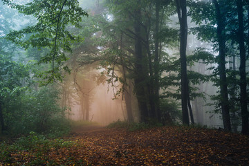 natural forest in fog after rain, mysterious magical landscape