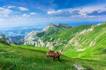 Fototapeta Chamois on the background of Giewont. Tatra mountains. Poland. obraz