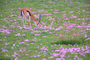 Thomson's gazelle, Eudorcas thomsonii, grazing on green savanna , surrounded by purple flowers.  African safari at the foot of a volcano Kilimanjaro, Amboseli national park, Kenya.