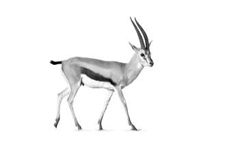 Black and white, Thomson's gazelle, Eudorcas thomsonii isolated on white background.  Amboseli national park, Kenya.