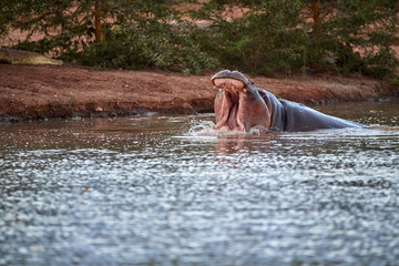 Hippo in the water, with open mouth. Low angle photo. Dangerous African animals wildlife photography safari, Tsavo West national park, Kenya.