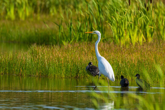A white heron stands in the pond amid reeds.