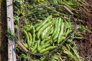 Au potager - récolte des fèves