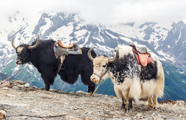 Papiers peints Népal Yaks in the mountains, Dombay, Russia