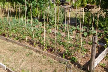 Au potager - rang de tomate