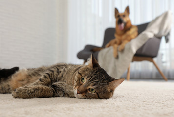 Tabby cat on floor and dog on sofa in living room Wall mural