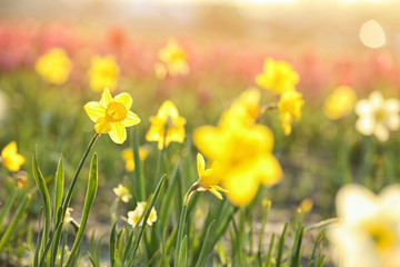 Deurstickers Narcis Field with fresh beautiful narcissus flowers on sunny day