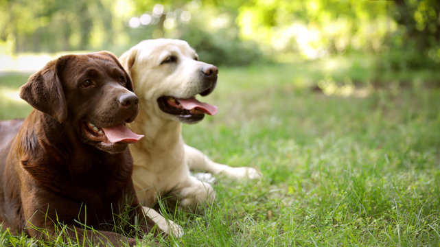 Cute Labrador Retriever dogs on green grass in summer park. Space for text