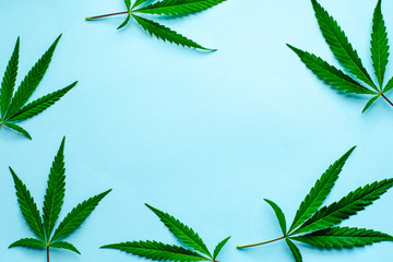Fresh leaves of hemp on a blue background with copy space. Top view.