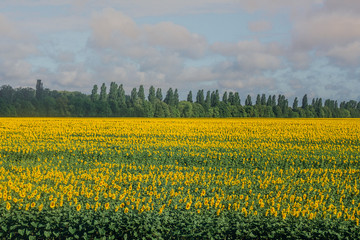 Beautiful sunflower field and blue sky