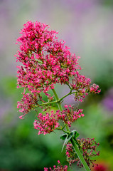 Close-up of centranthus ruber, known under many names including red valerian