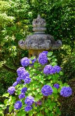 Fond de hotte en verre imprimé Hortensia Hydrangea flower full bloom on a summer day