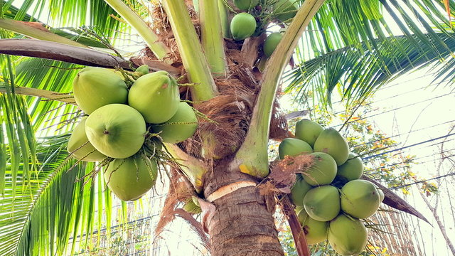 Coconut with coconuts palm tree  are Perennial plant and fruit, coconut bunch on uprisen angle, fragrant coconut, Young Nam-Hom coconut for drinking