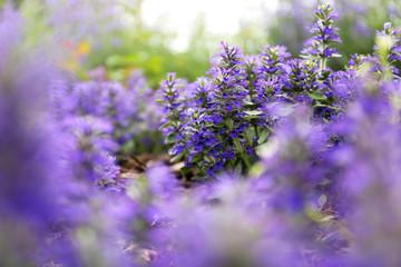 "Purple Ajuga ""Bugleweed"" Groundcover Flowers with Blurred Background"