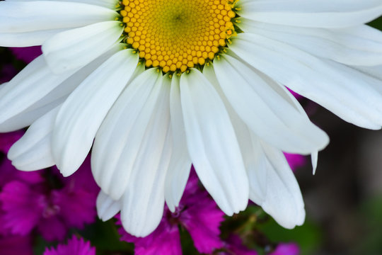 Close Up of a White Shasta Daisy over Purple Wildflowers