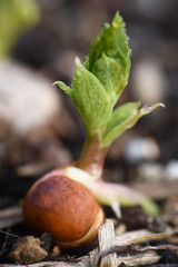 Macro of a Cover Crop Seedling Sprouting