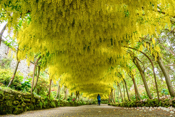 Arch of Yellow Viburnum flowers - Bodnant Garden, Wales