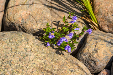 Blooming Skullcap flowers in a rock crevice