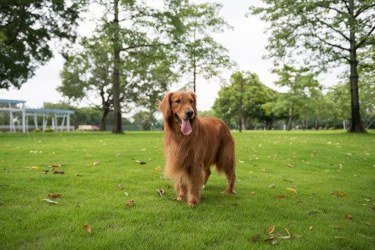 Golden Retriever playing in the park grass