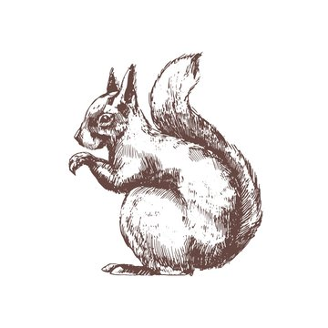 Tree squirrel hand drawn with contour lines on white background